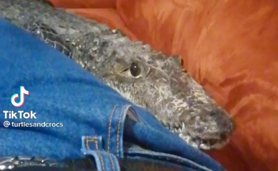 Quando il coccodrillo diventa domestico e fa le coccole sul divano